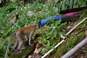 Thirsty monkey at Batu caves